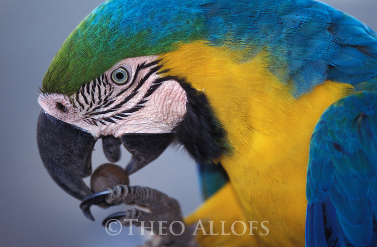 Blue and yellow macaw eating palm nut, Amazonia, Brazil
