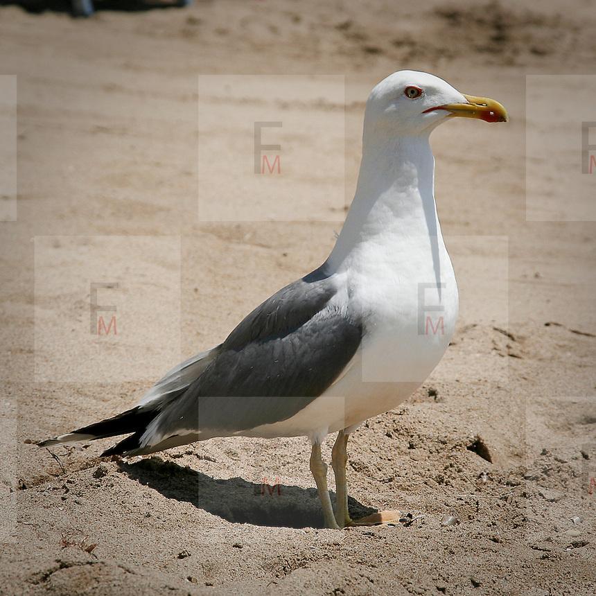 Un gabbiano su una spiaggia dell'Isola d'Elba..A seagull on an Elba Island beach.