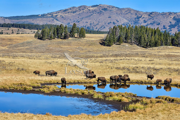 Bison herd drinking from small pond in upper Hayden Valley, Yellowstone NP, Wyoming.  September.