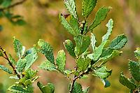 Ohr-Weide, Öhrchen-Weide, Salbei-Weide, Ohrweide, Öhrchenweide, Salbeiweide, Salix aurita, eared willow, Le Saule à oreillettes