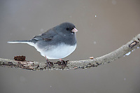 Dark-eyed Junco (Junco hyemalis hyemalis), Slate-colored group, male in the snow in Tarrytown, New York.