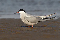 Common Tern - Sterna hirundo - breeding adult