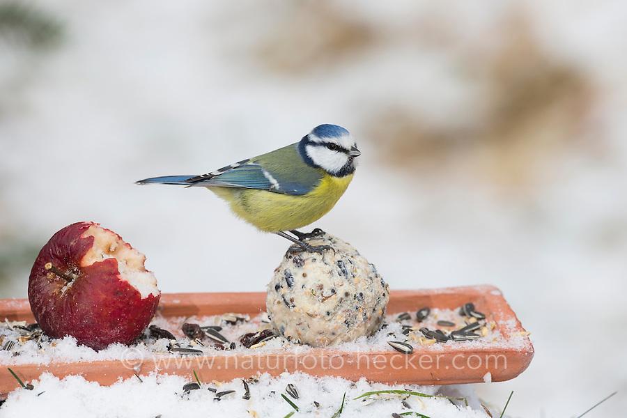 Blaumeise, selbstgemachtes Vogelfutter, Bodenfütterung mit Apfel, Körnern, Meisenknödel, Fettfutter, Vogelfütterung, Fütterung, Winterfütterung, Winter, Schnee, Blau-Meise, Meise, Meisen, Cyanistes caeruleus, Parus caeruleus, blue tit, bird's feeding, snow, La Mésange bleue