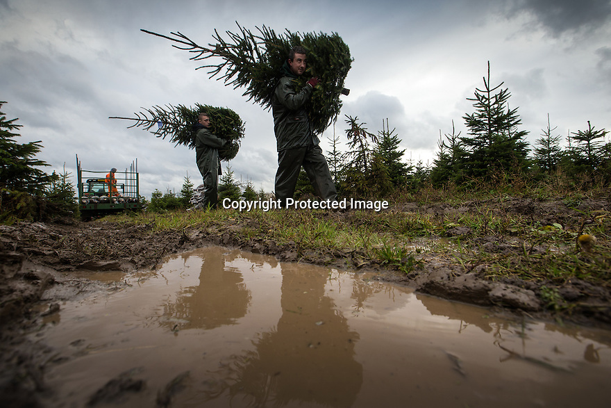 21/11/16<br /> <br /> Tom Theobald (right) and Michael Jones.<br /> <br /> Braving torrential rain and gale force winds, Christmas tree farmers begin their harvest one week earlier than in previous years after an unprecedented number of early orders from garden centres across the country.  The muddy field in Groby, near Leicester is one of many owned by Cadeby Tree Trust who will cut and wrap more than 100,000 seasonal trees this year.<br /> All Rights Reserved F Stop Press Ltd. +44 (0)1773 550665