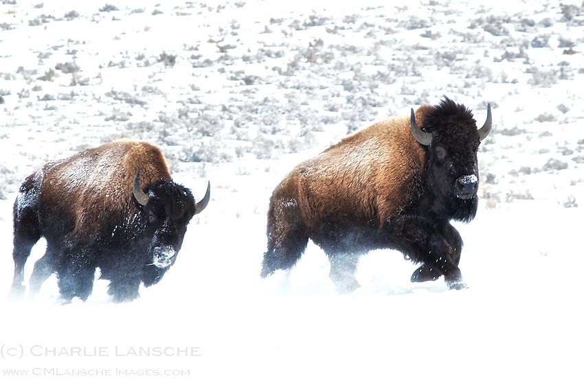 Bison on the move during a cold winter morning in the Lamar Valley of Yellowstone National Park. February 2013.
