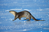 River otter trotting/loping (they have an odd little gait) across frozen pond, Western U.S., winter.