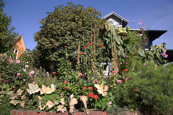 08 October 2009 - Portland, Oregon - A flower garden outside a house in the northeast section of Portland.  Photo Credit: Elizabeth A. Miller/Sipa Press