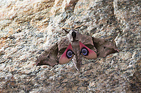 Abendpfauenauge, Abend-Pfauenauge, Smerinthus ocellata, Smerinthus ocellatus, Eyed Hawk-Moth, Eyed Hawkmoth, Le sphinx demi-paon, Schwärmer, Sphingidae, hawkmoths, hawk moths, sphinx moths