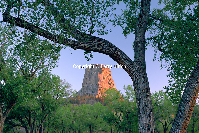 Fremont cottonwoods and Devils Tower<br />