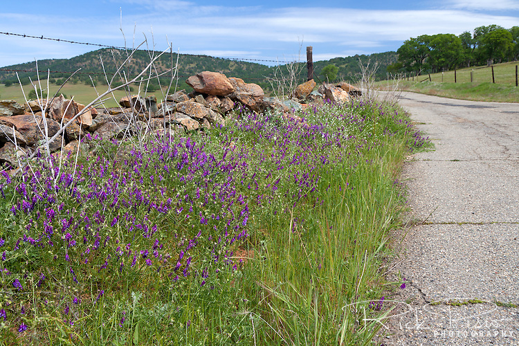 Wildflowers in bloom alongside a rock wall lining Telegraph Road. Telegraph Road is a bypassed section of California Highway 4 in the California Foothills near the ghost town of Telegraph City.