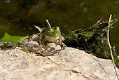 Frog, Edwin Warner Park, Nashville, Tenn.