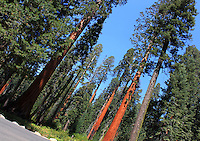 Stock photo: Tall Redwood trees standing against clear blue sky in the Sequoia National park in California USA.
