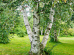 Birch trees at the Arnold Arboretum in the Jamaica Plain neighborhood, Boston, Massachusetts, USA
