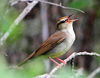 Adult male Swainson's warbler singing, assume nest near by