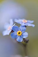 Alpine forget-me-not, Alaska's state flower, Denali National Park, Alaska