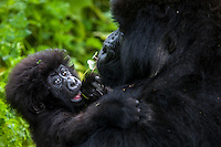 A three month-old infant clings to his mother's shoulder in an embrace in the jungle of Rwanda's Virunga Mountains. I thought there was something so human about the tender relationship between this infant and his mother.