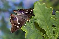 Großer Schillerfalter, Männchen, je nach Lichteinfall mit unterschiedlich sichtbarem Blauschiller, Rüssel, Saugrüssel, Apatura iris, Purple Emperor, male, Le Grand Mars changeant