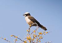 Southern White-Crowned Shrike, Etosha NP, Namibia