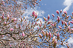 Magnolias in the Back Bay neighborhood, Boston, Massachusetts, USA