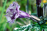 Datura metel fastuosa, Purple Ballerina, flower blossom. Alson know as Devil's trumpet or Angel's trumpet. Side view.