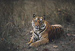 Portrait of Royal Bengal Tiger