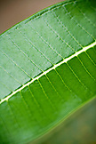 INDONESIA, Mentawai Islands, Kandui Resort, detail of a green leaf