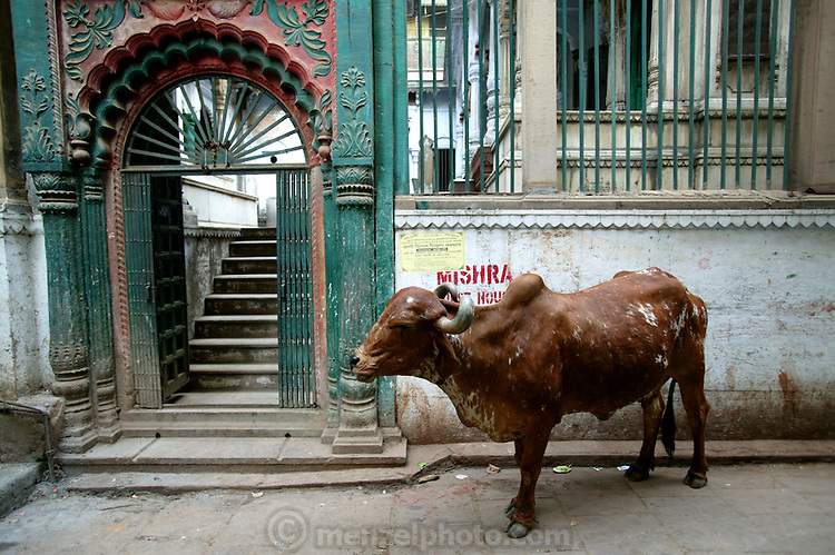A cow on the street near Manikarnika Ghat, Varanasi, India. (From the book What I Eat: Around the World in 80 Diets.) A ghat is a stairway in India leading down to a landing on the water.