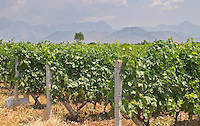 Rows of vines. Vines trained high on wires supported by concrete pillars poles, with grape bunches. Ranxe mountains in the background. Tempranillo grape variety. Kantina Miqesia or Medaur winery, Koplik. Albania, Balkan, Europe.