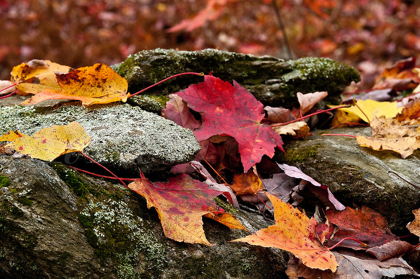 Stone fence and autumn leaves, Vermont, VT, USA