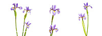 30099-00206 Blue Flag Iris, (Iris versicolor) Digital composite (high key white background) Marion Co. IL