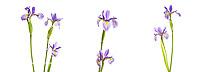 30099-00206 Blue Flag Iris, (Iris versicolor) Digital composite (high key white background) Marion Co. IL