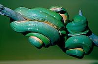 Green Tree Python snake, wound around branch, San Diego Zoo, California