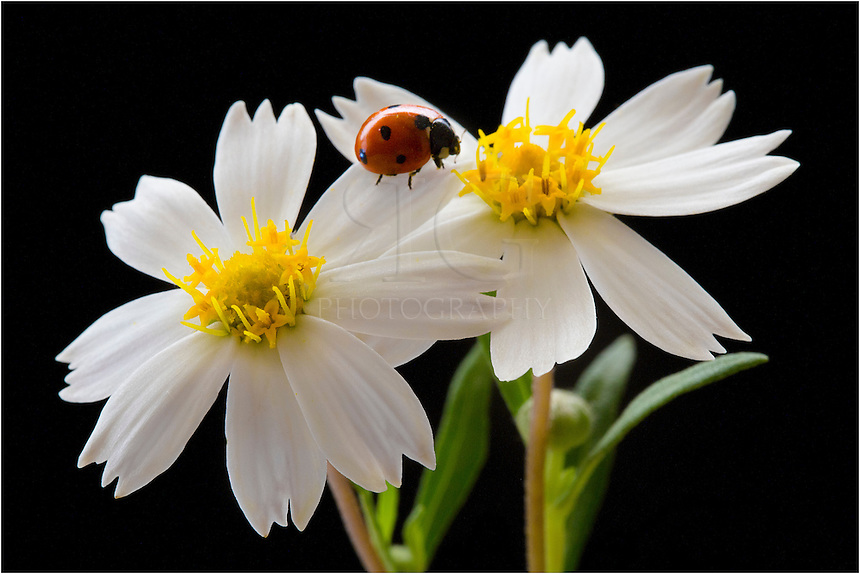 Another image of a ladybug on the Texas Wildflower - Blackfoot Daisies. These Texas Wildflowers grow all over our property in the Hill Country, and the ladybug is a sign that spring is here. I don't have to walk far to see these little red bugs that like to roam around on our wildflowers. However, patience is needed to capture these ladybugs with a photograph. These texas wildflower pictures took about an hour and over 70 shots to finally get what I wanted.
