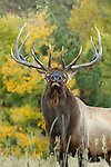 Rocky Mountain Bull Elk in Aspen Trees
