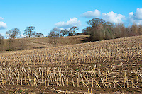 Maize stubble field, Cheshire.