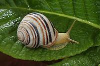 Gerippte Bänderschnecke, Gerippte Schnirkelschnecke, Cepaea vindobonensis, Viennese banded snail
