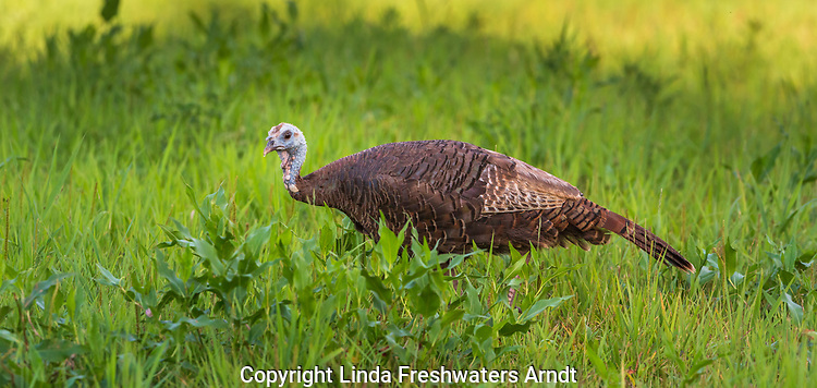 Hen wild turkey feeding in a summer field.