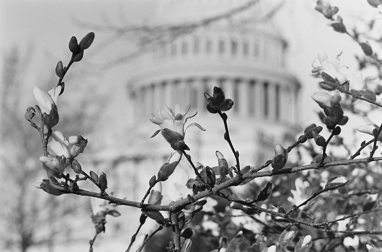 Star Magnolia on Capitol Hill in the background, on March 14, 1991. (Photo by Laura Patterson/CQ Roll Call via Getty Images)