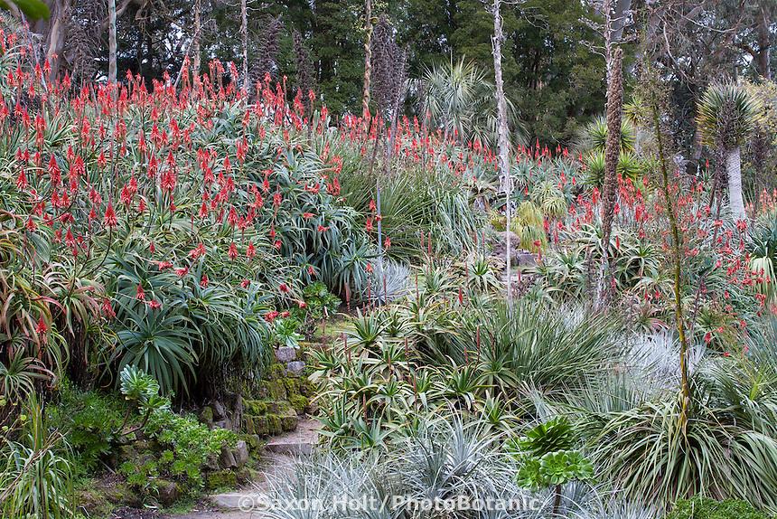 Succulent Garden in winter with flowering Aloe, San Francisco Botanical Garden