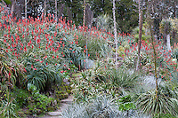 Succulent Garden in winter with flowering Aloe, San Francisco Botanical Garden