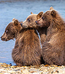 USA, Alaska, Katmai National Park, brown bear (Ursus arctos) cubs