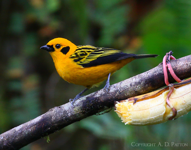 Golden tanager male