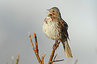 "Singing adult Fox Sparrow (Passerella iliaca) of the ""Red"" subspecies P. i. zaboria. Seward Peninsula, Alaska. May."