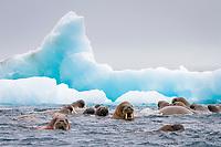 Atlantic walrus, Odobenus rosmarus rosmarus, Apollo Island, Franz Josef Land, Russia, Arctic Ocean