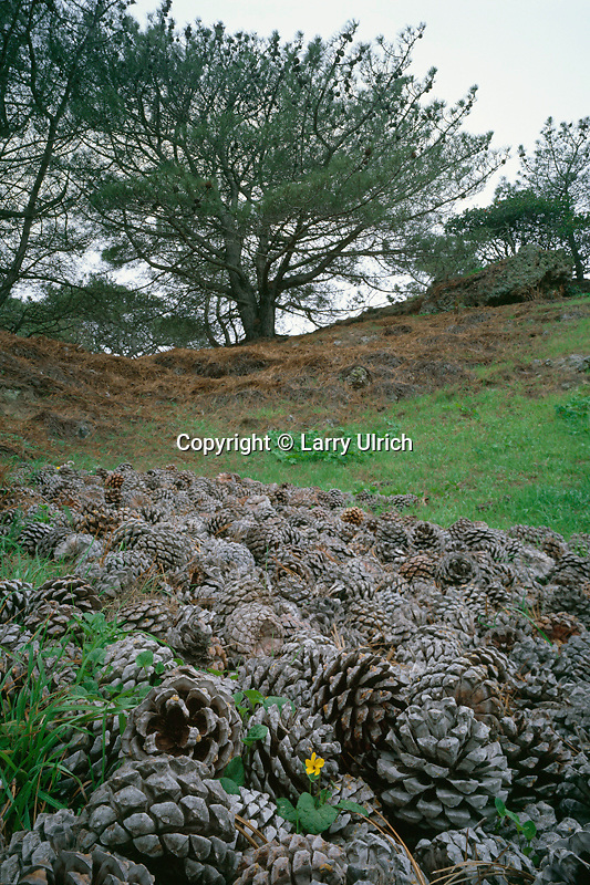 Johnny-jump-up and Torrey pine cones<br />