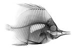 X-ray image of a butterflyfish (black on white) by Jim Wehtje, specialist in x-ray art and design images.
