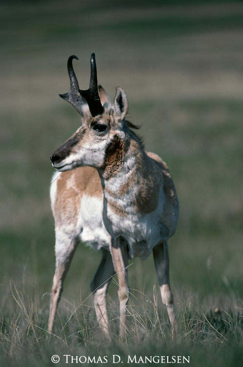 Portrait of a pronghorn antelope.