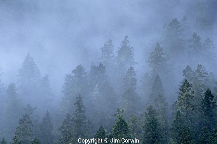 Evergreen trees in fog Olympic Peninsula