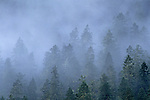 Evergreen trees in fog Olympic Peninsula