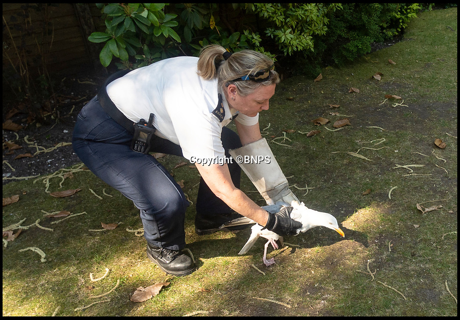 BNPS.co.uk (01202 558833)<br /> Pic:   RogerArbon/BNPS<br /> <br /> The lucky gull being released by RSPCA inspector Jo Story.<br /> <br /> A seagull that miraculously survived being shot with an arrow has today been released back into the wild after being saved by the RSPCA.<br /> <br /> The male gull was left skewered by the 28ins long arrow fired from a high-powered crossbow, possibly by an angry homeowner fed-up with the nuisance birds.<br /> <br /> The metal arrow went right through the gull's body and somehow missed its vital organs.<br /> <br /> And when vets X-rayed it they realised the bird had been doubly lucky as they found a pellet in its body from where it had been previously shot with an air rifle.
